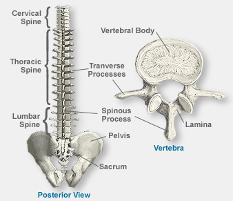 Anatomy Of The Spine - NYC Spine Doctor